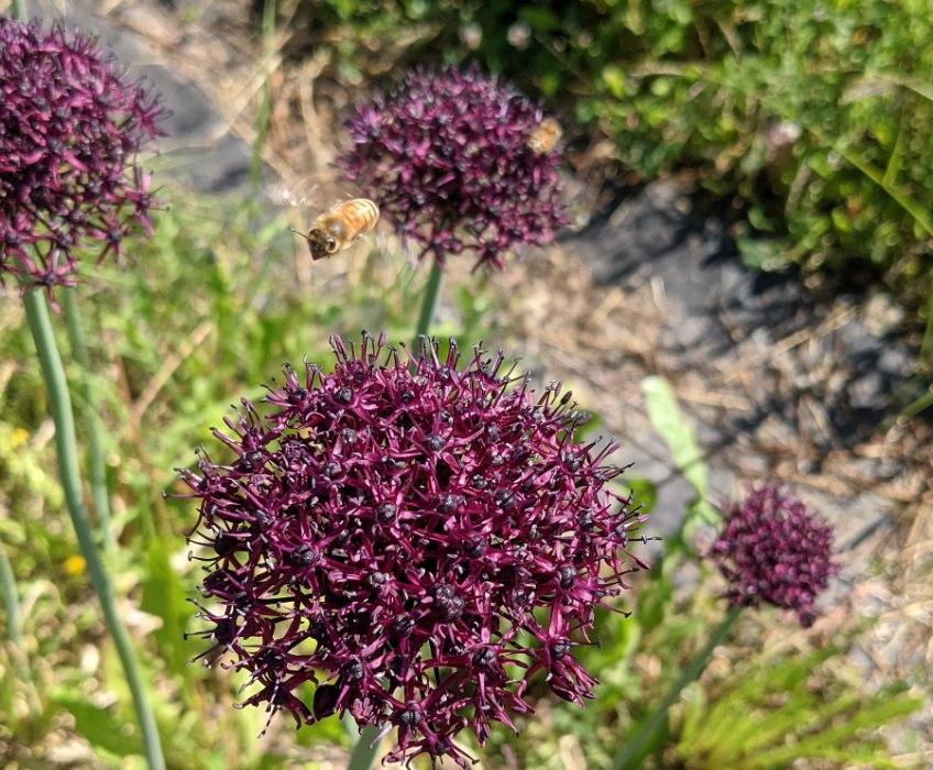 Allium honeybee